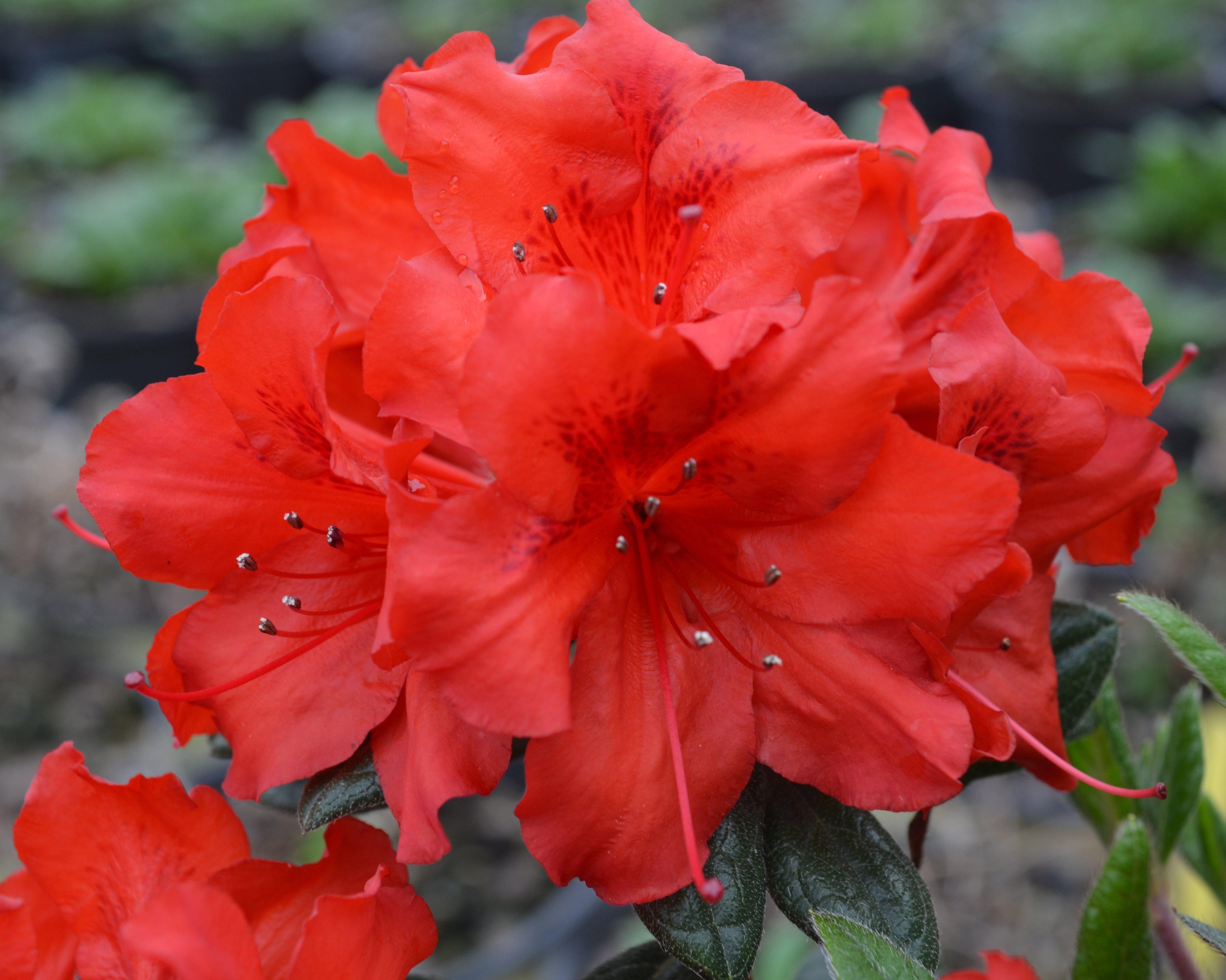 Deja Bloom Red Tiara.jpg